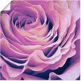 artland artprint paars roos in vele afmetingen  productsoorten - artprint van aluminium - artprint voor buiten, artprint op linnen, poster, muursticker - wandfolie ook geschikt voor de badkamer (1 stuk) paars