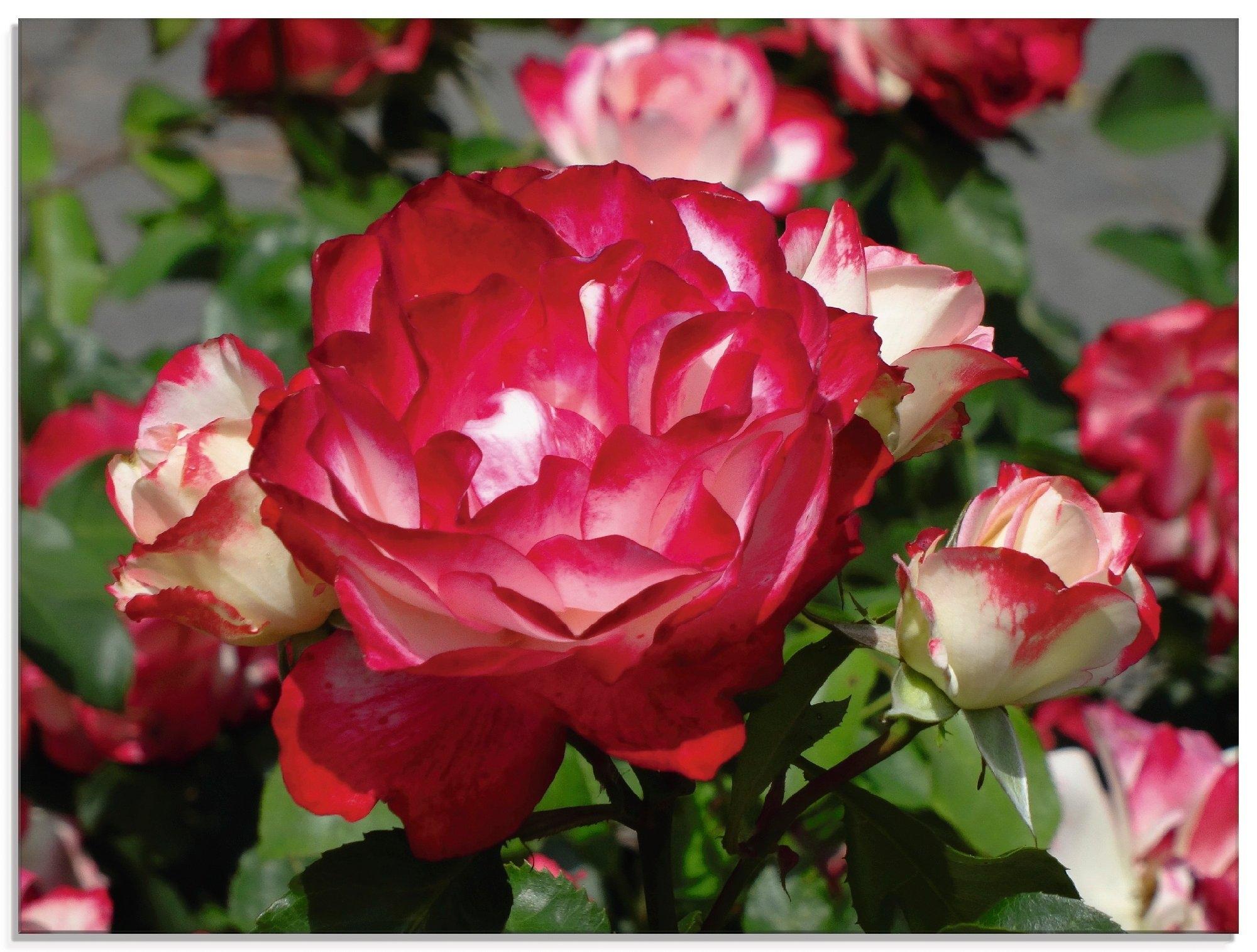 Artland print op glas Rood witte roos (1 stuk) voordelig en veilig online kopen