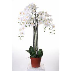 kunstorchidee »orchidee xxl« wit