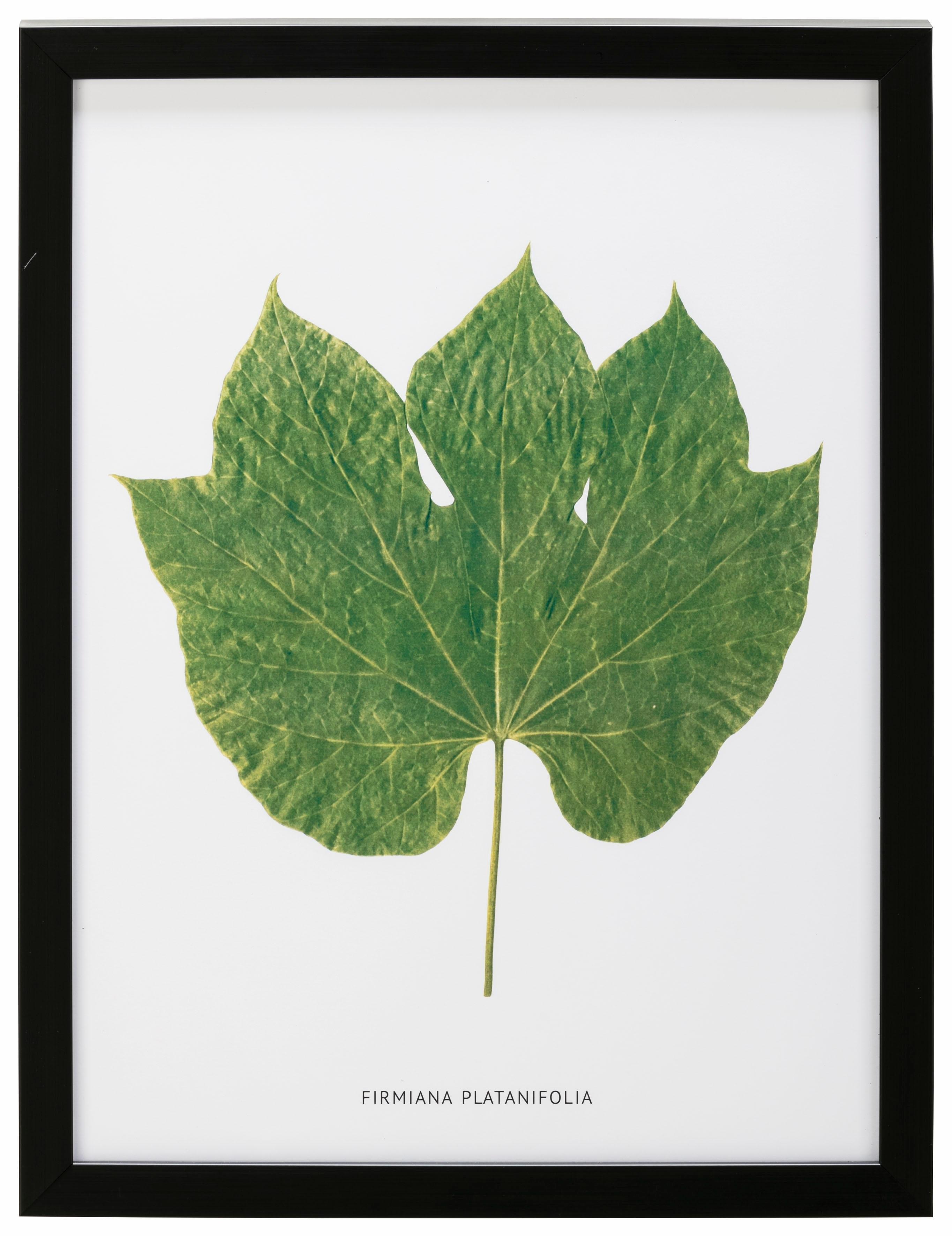 G&C wanddecoratie Blad Firmiana Platanifolia 30/40 cm, ingelijst bij OTTO online kopen
