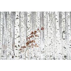 wall-art vliesbehang han - berkenbos wit