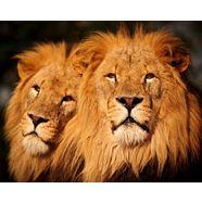 bmd fotobehang »male lions« multicolor