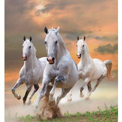 bmd fotobehang »white stallions in dust« multicolor