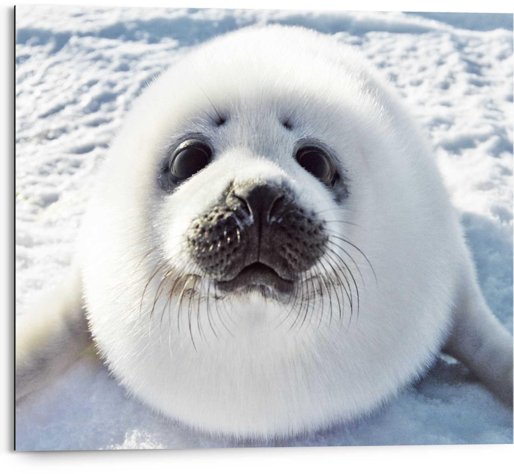 Reinders! artprint jonge zeehond Waddenzee - mistfluit - schattig (1 stuk) nu online bestellen