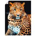 artland artprint woedende wilde luipaard in vele afmetingen  productsoorten - artprint van aluminium - artprint voor buiten, artprint op linnen, poster, muursticker - wandfolie ook geschikt voor de badkamer (1 stuk) zwart