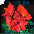 artland artprint rode amaryllis in vele afmetingen  productsoorten -artprint op linnen, poster, muursticker - wandfolie ook geschikt voor de badkamer (1 stuk) rood
