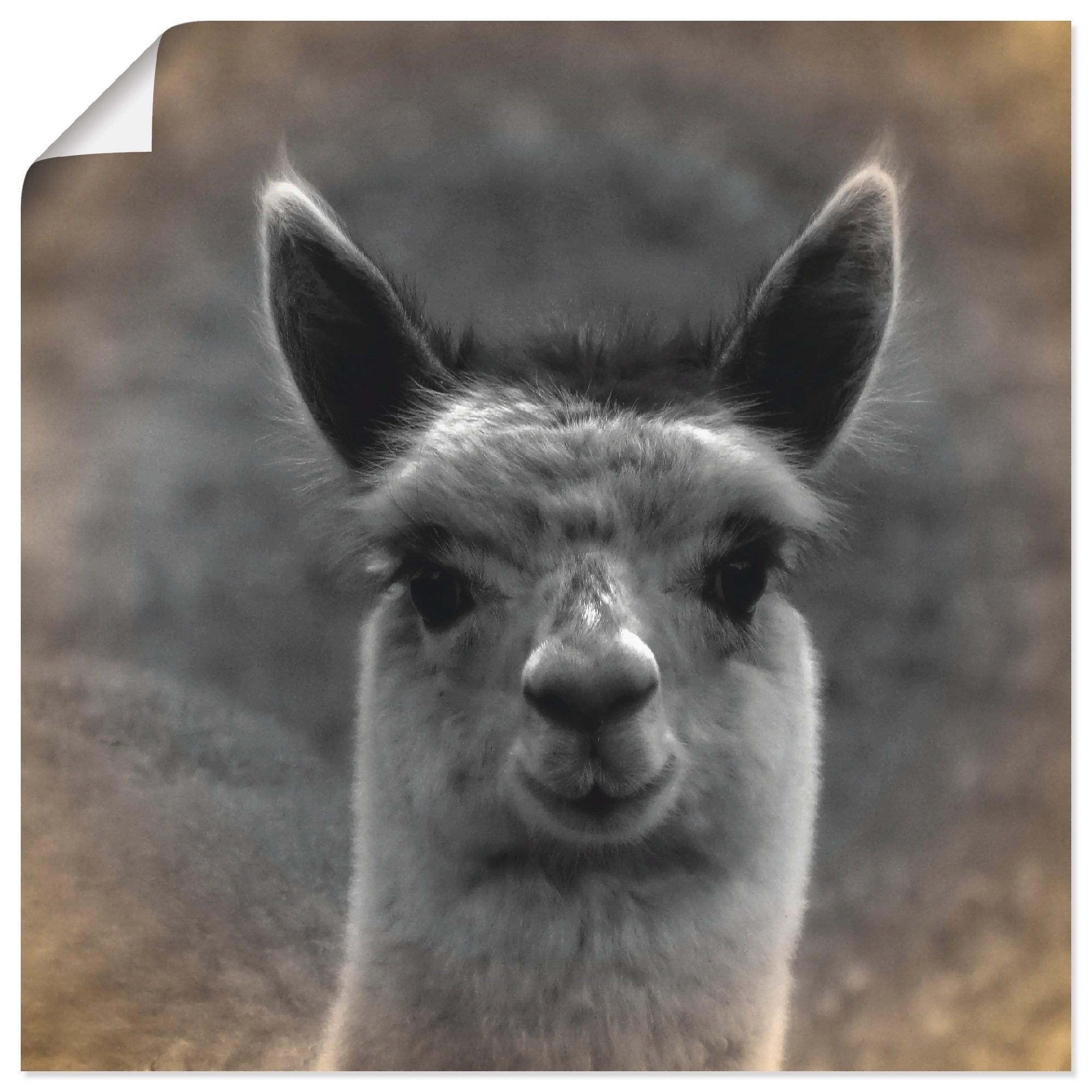 Artland artprint Alpaca blik in vele afmetingen & productsoorten - artprint van aluminium / artprint voor buiten, artprint op linnen, poster, muursticker / wandfolie ook geschikt voor de badkamer (1 stuk) online kopen op otto.nl
