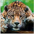 artland print op glas zuid-amerikaanse jaguar (1 stuk) bruin