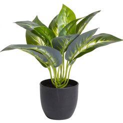 botanic-haus kunst-potplanten »dieffenbachia« (1 stuk) groen